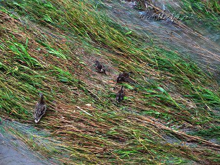 大雨で 川の水かさが増して 鴨の親子が(ΦωΦ)きゃあ 3