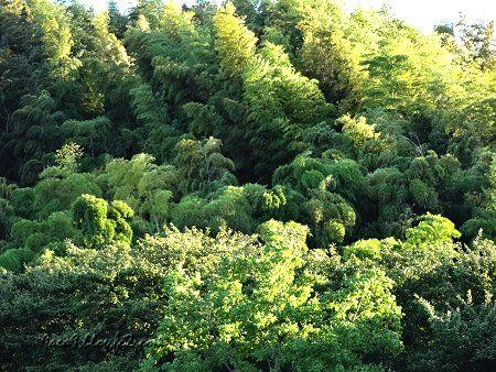 緑 出先の写真 竹林