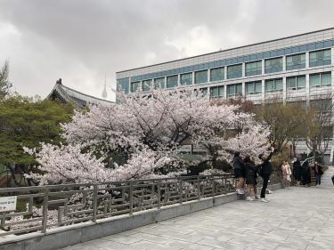 大学内の桜スポットはやっぱり人気。お天気が多少悪くてもみんさん撮りたいものですw