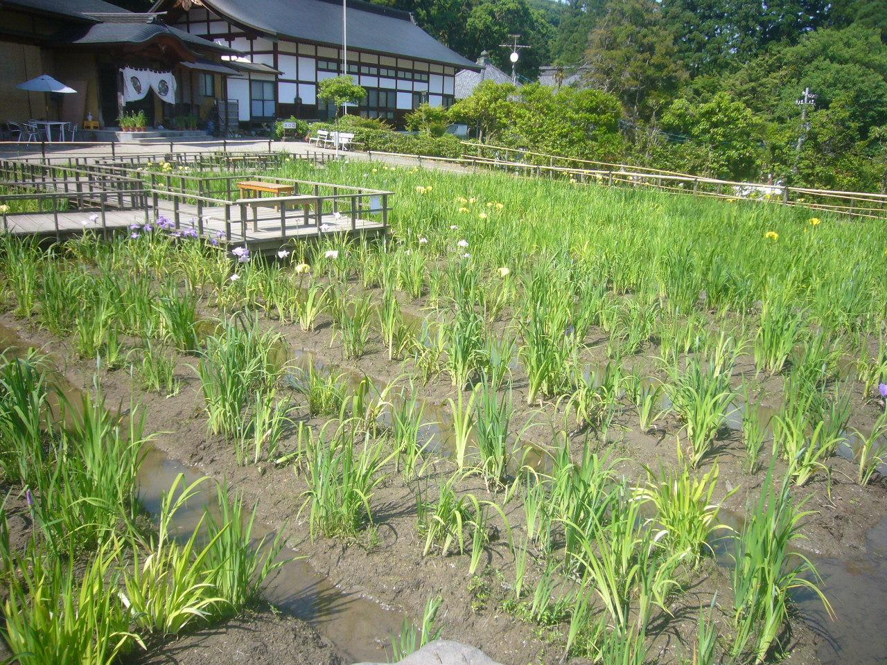 大安禅寺 菖蒲祭り H30.6.04