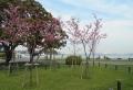 横浜緋桜の若木