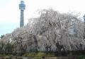 しだれ桜越しに見るマリンタワー