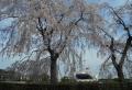 しだれ桜越しに見る氷川丸
