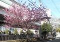 横浜緋桜も