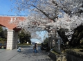 霧笛橋近くの芸亭の桜