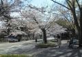 山手通りの桜①