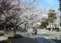 山手通りの桜②