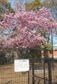 横浜緋桜の原木