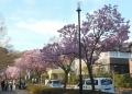 お馬通の横浜緋桜
