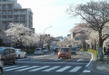 本牧通の桜