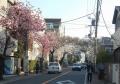 本牧桜道(緋桜も)