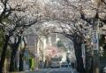 本牧桜道(桜のトンネル)