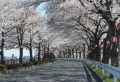 西岸道路の桜のトンネル