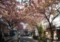 まさに桜のトンネル