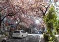 突風で桜吹雪
