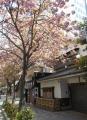 「天吉」前にも八重桜が