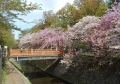 弁天橋と八重桜