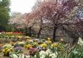 花畑と八重桜①