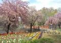 花畑と八重桜②