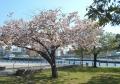 赤レンガパークの八重桜