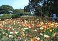 ここにもチューリップ花壇
