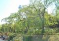 葉桜越しに見るマリンタワー