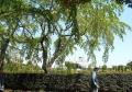 葉桜越しに見る氷川丸