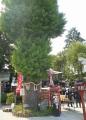 川越八幡・縁結びの木