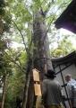 氷川神社の御神木