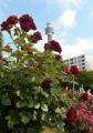 マリンタワーと深紅のバラ