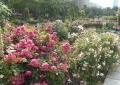 ホテルニューグランドは桜の若葉に遮られて…