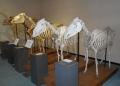 馬の骨格標本