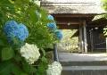 東慶寺・入口前のアジサイ