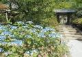 浄智寺・入口付近のアジサイ