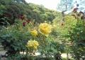 庭園のバラ①