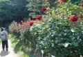 庭園のバラ②