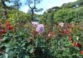 庭園のバラ③