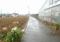 自宅近くの茶畑(昨日の午前)