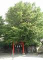 雷神社・イチョウの木①