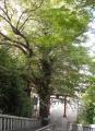 雷神社・イチョウの木②