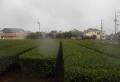 雨が降り出した近所の茶畑