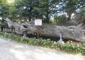 境内に横たわっている古木