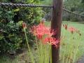 境内に咲いていたヒガンバナ