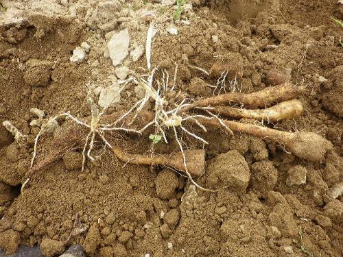 自然薯 2018 4 14-1