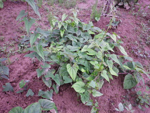 自然薯 2018 7 7-2