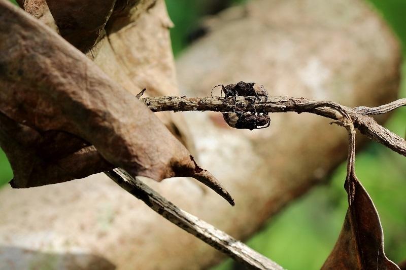 アトジロサビカミキリs
