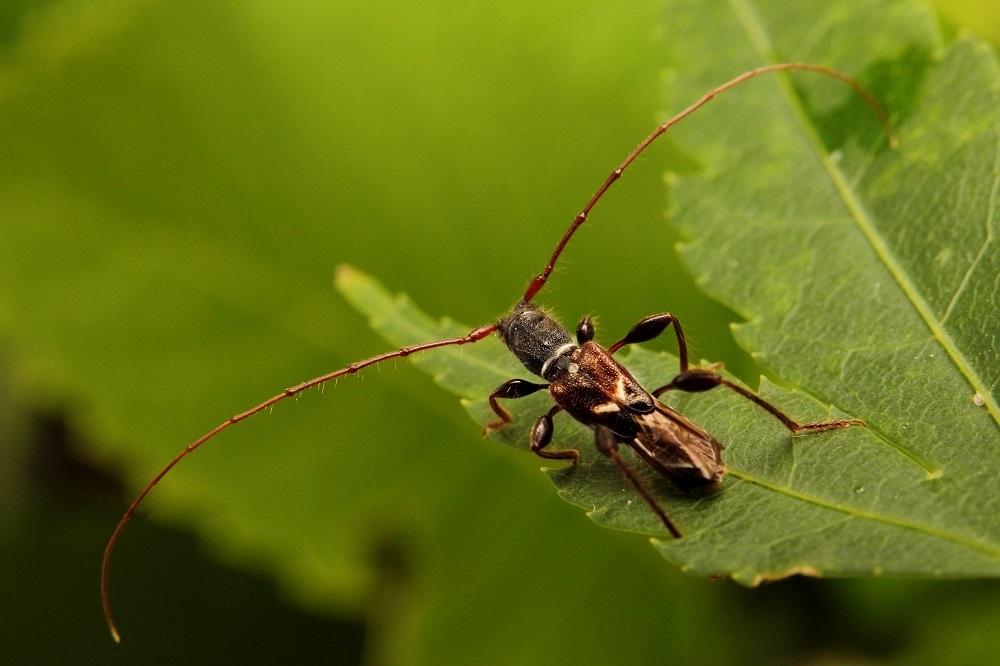 オニヒゲナガコバネカミキリ (2)s