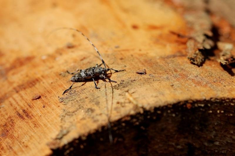 ヒゲナガモモブトカミキリs