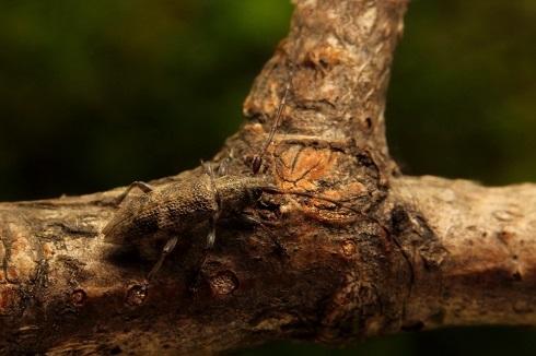 シロオビチビカミキリs