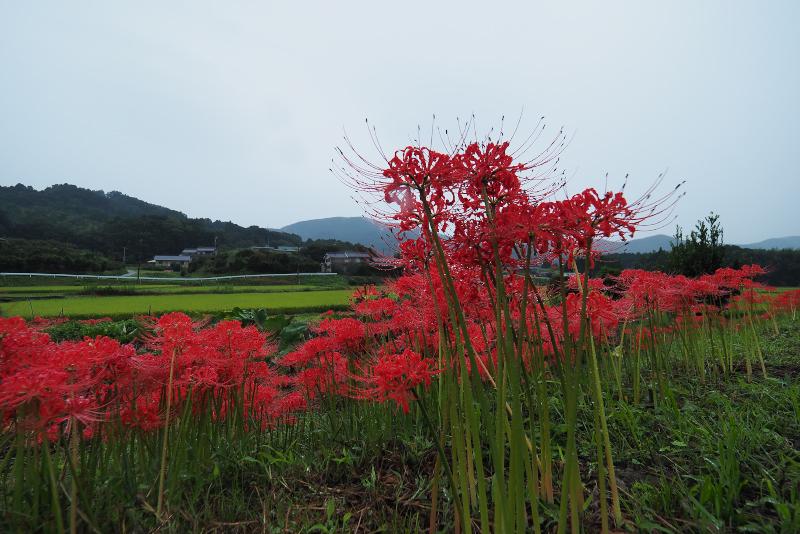 higanbana001.jpg